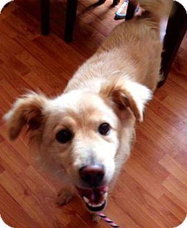 Golden Retriever Mix Dog for adoption in Sugar Grove, Illinois - Lorie