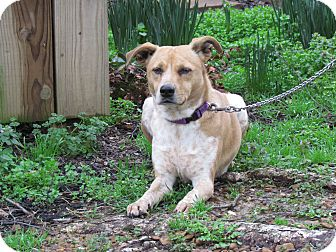 Australian Cattle Dog/Feist Mix Dog for adoption in Bedminster, New Jersey - DIXIE
