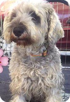Schnauzer (Standard) Mix Dog for adoption in San Diego, California - Gracie