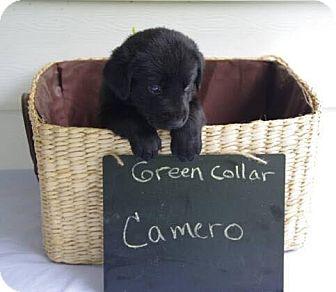 Great Dane Mix Puppy for adoption in Oswego, Illinois - Camaro