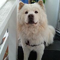 Adopt A Pet :: CreamPuff - Marina del Rey, CA