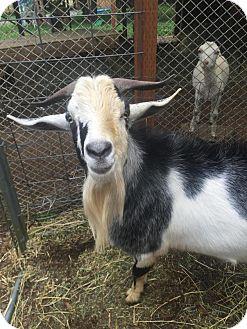 Goat for adoption in Maple Valley, Washington - Bojangles