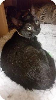 Domestic Shorthair Kitten for adoption in Plymouth Meeting, Pennsylvania - Sabra
