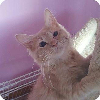 Domestic Longhair Kitten for adoption in Huntsville, Alabama - Mercury