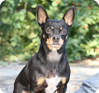 Chihuahua Mix Dog for adoption in Dallas, Texas - Baylee
