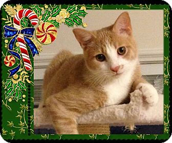 Domestic Shorthair Cat for adoption in Richmond, Virginia - Ramsey