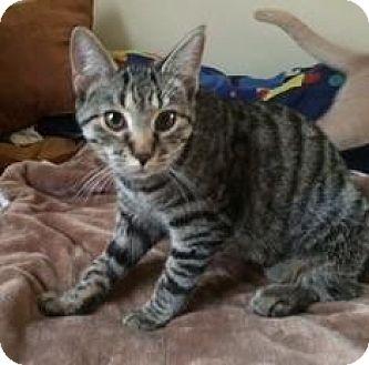 American Shorthair Cat for adoption in Greensburg, Pennsylvania - Keva