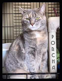 Domestic Shorthair Cat for adoption in Hartford City, Indiana - Porcha
