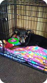 Australian Cattle Dog Mix Puppy for adoption in Forest Hill, Maryland - Bonnie