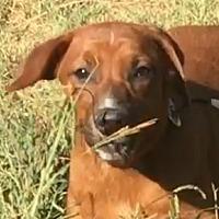 Adopt A Pet :: Glory - Staunton, VA