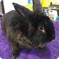Adopt A Pet :: Bun Bun - Los Angeles, CA