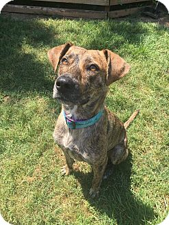 Plott Hound Mix Dog for adoption in Charlotte, North Carolina - The 100: Harper Mcintyre