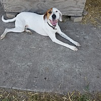 Hound (Unknown Type) Dog for adoption in Collinsville, Oklahoma - Cotton