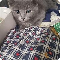 Adopt A Pet :: Gravy - Indianapolis, IN
