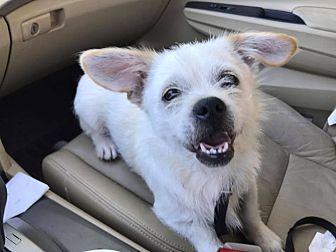 Shih Tzu/Wirehaired Fox Terrier Mix Puppy for adoption in Hagerstown, Maryland - Merlin