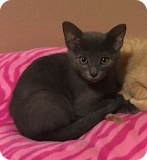 Russian Blue Kitten for adoption in Arlington/Ft Worth, Texas - Storm
