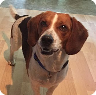 Beagle Mix Dog for adoption in Roswell, Georgia - Lenny