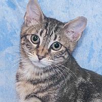 Adopt A Pet :: Tiger - Elmwood Park, NJ