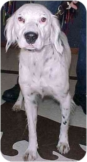 English Setter Dog for adoption in North Judson, Indiana - Triumph