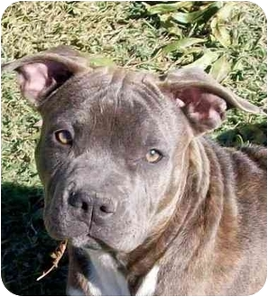 American Staffordshire Terrier Mix Puppy for adoption in Sacramento, California - Izzy