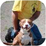 American Staffordshire Terrier Dog for adoption in Long Beach, New York - Melody