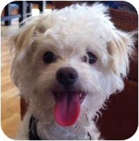 Bichon Frise Mix Dog for adoption in La Costa, California - Trixie