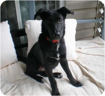 Labrador Retriever/Border Collie Mix Puppy for adoption in Marietta, Georgia - Mulligan
