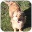 Photo 2 - Sheltie, Shetland Sheepdog/Dachshund Mix Dog for adoption in Sacramento, California - Sydney