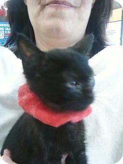 Domestic Shorthair Kitten for adoption in Detroit, Michigan - Hanna