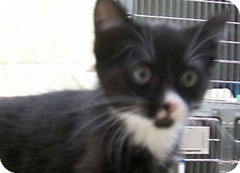 Domestic Shorthair Kitten for adoption in Grants Pass, Oregon - Benji