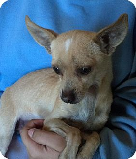Chihuahua Mix Dog for adoption in San Diego, California - Emmet URGENT