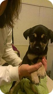 German Shepherd Dog Mix Puppy for adoption in Wethersfield, Connecticut - Whilamena