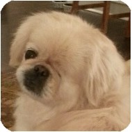Pekingese Dog for adoption in Emmaus, Pennsylvania - Norma Jean-PA