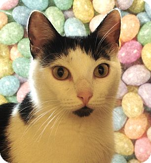 Domestic Shorthair Cat for adoption in Albany, New York - Andrea