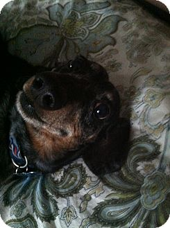 Dachshund Dog for adoption in Franklinville, New Jersey - Flip
