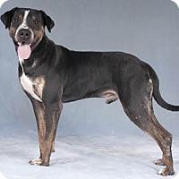 Adopt A Pet :: Hamlet - Chicago, IL