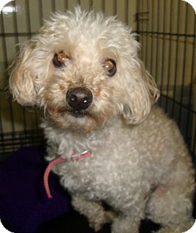 Poodle (Miniature) Dog for adoption in Coudersport, Pennsylvania - MOLLY