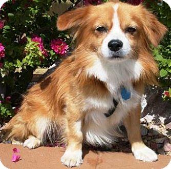 Spaniel (Unknown Type)/Pomeranian Mix Dog for adoption in Gilbert, Arizona - Wyatte