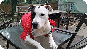 American Staffordshire Terrier Mix Dog for adoption in West Allis, Wisconsin - Bella