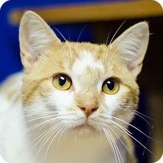 Domestic Shorthair Cat for adoption in Adrian, Michigan - Brian