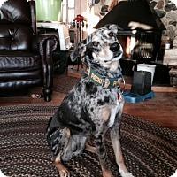 Adopt A Pet :: CALLIE-JJ (WI) - Roundup, MT