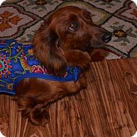 Adopt A Pet :: Ms Mimi - Bryan, TX