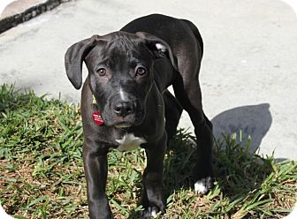 Pit Bull Terrier/Labrador Retriever Mix Puppy for adoption in Tamarac, Florida - Tank