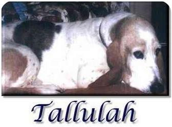 Basset Hound Dog for adoption in Marietta, Georgia - Tallulah