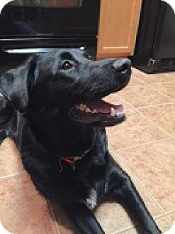 Labrador Retriever Mix Dog for adoption in Austin, Texas - Jett