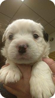 Shih Tzu/Pit Bull Terrier Mix Puppy for adoption in Ogden, Utah - Bronski
