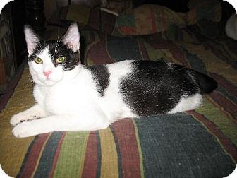 Domestic Shorthair Cat for adoption in Grand Saline, Texas - Stryker