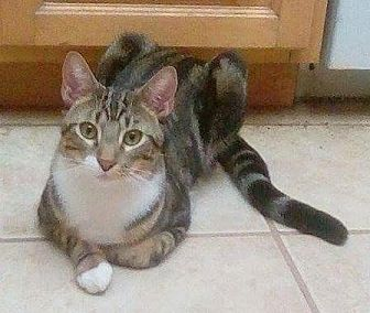 Domestic Shorthair Cat for adoption in Flower Mound, Texas - Channing