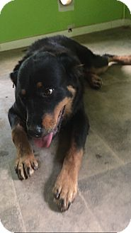 Rottweiler Dog for adoption in Media, Pennsylvania - TATE