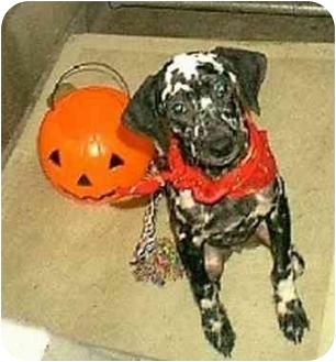 Dalmatian Dog for adoption in Mandeville Canyon, California - Melanie